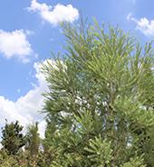 种植基地的澳洲茶树实拍图3