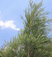 种植基地的澳洲茶树实拍图