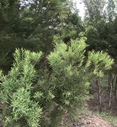 种植基地的澳洲茶树实拍图4